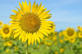 Sunflower with blue sk — Stock Photo