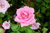 Vacker Rosa Ros blomma i trädgården — Stockfoto