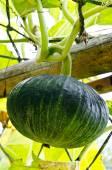 Little pumpkin growing on a pumpkin patch — Stock Photo