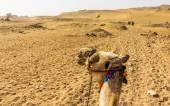 Sahara as seen by a camel rider - Egypt — Stock Photo