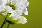 White flower petals on green background — Foto Stock