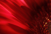 Red flower petals on dark background — Foto de Stock