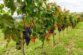 Pinot of ripe Merlot grapes — Stock Photo