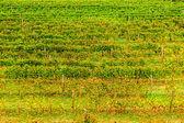 Levande vingård i höst — Stockfoto