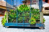 Crassulaceae escape from the birdcage — Stock Photo