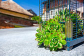Crassulaceae escape from the birdcage — Stock Photo