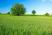 Green grain at hilly landscape — Foto de Stock
