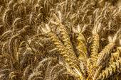 Wheat weaving, twisted grain like a DNA array. — Stock Photo