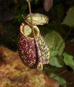 Tropical pitcher plant — Stock Photo