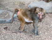 Red rumped baboon — Stock Photo
