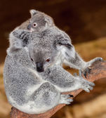 Baby koala — Stock Photo
