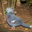 Victoria crested pigeon — Stock Photo #66906807