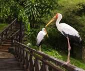 Yellow billed stork — Stock Photo
