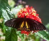 birdwing butterfly — Stock Photo