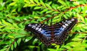 Butterfly blue banded — Stock Photo