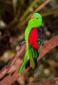 Red winged parrot — Stock Photo