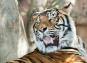 Snarling tiger — Stock Photo