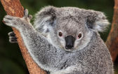 Adult  Koala — Stock Photo