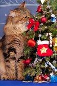 Kot syberyjski — Zdjęcie stockowe