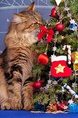 西伯利亚猫 — 图库照片