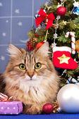 Siberian kedi — Stok fotoğraf