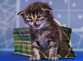 Gattino siberiano — Foto Stock