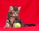 Kotka syberyjska — Zdjęcie stockowe