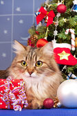 Sibiřská kočka — Stock fotografie