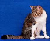 Adult cat — Stock Photo