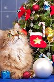 シベリア猫 — ストック写真