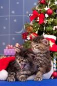 Siberian kittens — Stock Photo