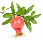 Granatapfel-frucht — Stockfoto