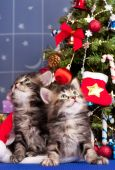 Siberian kittens — Stock Photo
