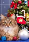 Сибирская кошка — Стоковое фото