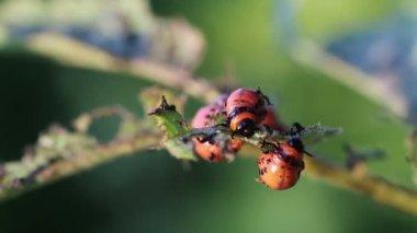 Colorado potato beetle. Larvas — Stock Video
