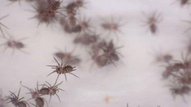 Funnel-web Tarantula linothele fallax — Stock Video