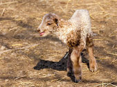 Hungarian racka lamb — Stock Photo