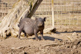 Young wild boar looking nosy — Stock Photo
