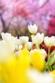 White tulips with pink blur background. — Stock Photo