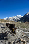 Yak in Himalaya Mountain, Jammu Kashmir India — Photo