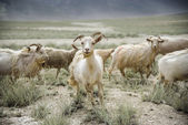 Group of goat field, Padum, Zanskar vally, India. — Stock Photo
