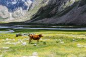 Cow on field and Himalayan mountains — Stock Photo
