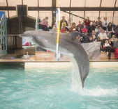 Dolphin jumping through hoops at the Rostov dolphinarium   — Foto de Stock