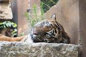Tiger enjoying a lazy day — Stock Photo