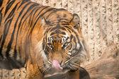 Tiger tounge — Stock Photo