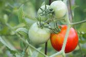 Tomatoe close up — Стоковое фото