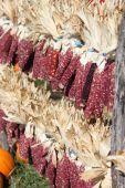 Indian Corn   — Stock Photo
