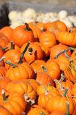 Pumpkin minis galore — Stock Photo