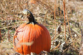 Pumpkin in the Patch — Stock Photo