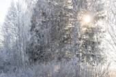 The sun breaks through the trees covered with hoarfrost — Stock Photo